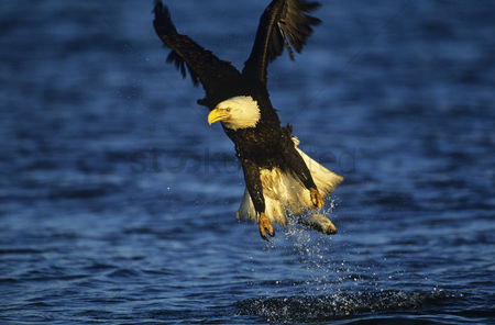 Bald : Bald eagle catching fish in river