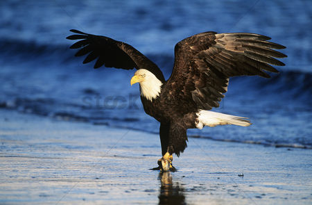 Animals in the wild : Bald eagle catching fish in river
