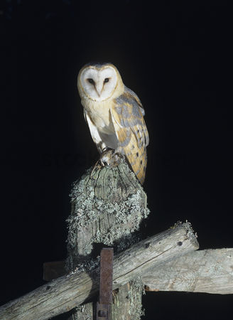 Owl : Barn owl perching on fence post