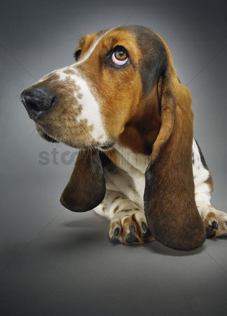 Dogs : Basset hound close-up