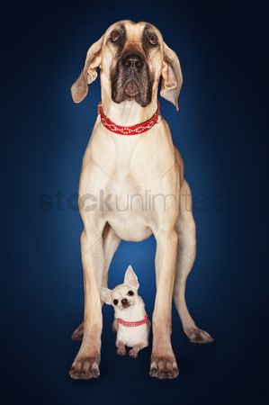 Blue background : Brazilian mastiff  fila brasileiro  standing over chihuahua front view