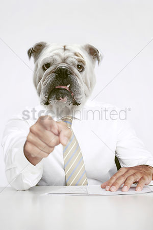 Bulldog : British bulldog businessman pointing at the camera