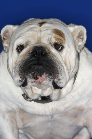 Bulldog : Bulldog close-up