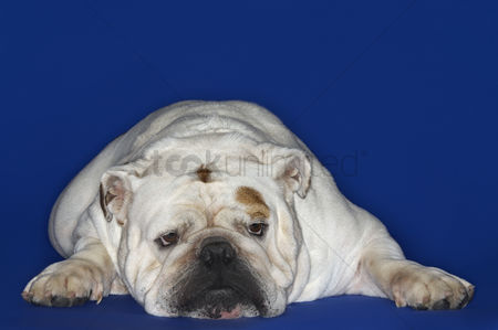 Dogs : Bulldog lying down front view