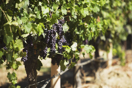 Grapes : Bunches of grapes on vine