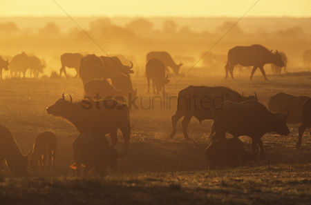 Large group of animals : Cape buffalo  syncerus caffer  grazing on savannah at sunset