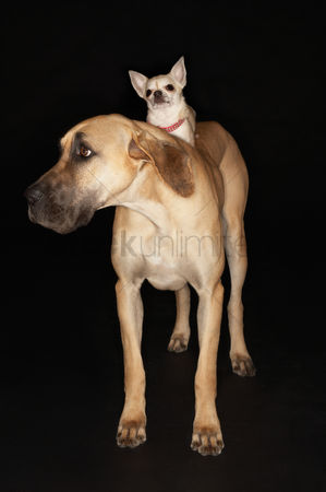 Dogs : Chihuahua riding on brazilian mastiff  fila brasileiro