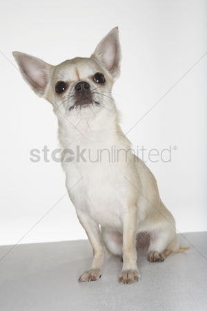 Funny : Chihuahua sitting