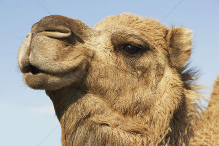 Animal head : Close-up of camel s head against blue sky