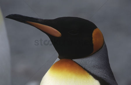Animals in the wild : Close-up of king penguin  aptenodytes patagonicus