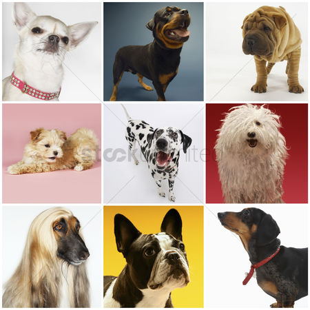 Domesticated animal : Collage of various pet dogs