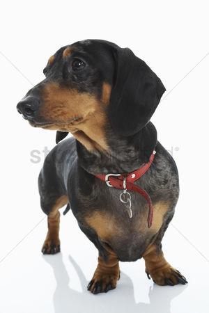 Dogs : Dachshund wearing red collar