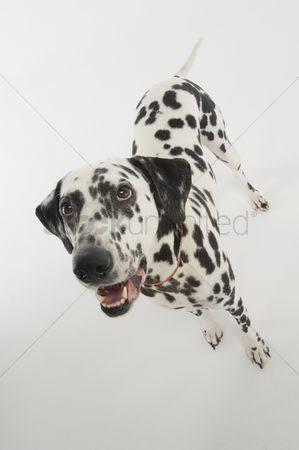Domesticated animal : Dalmatian dog