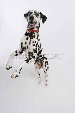 Dogs : Dalmatian standing on hind legs elevated view