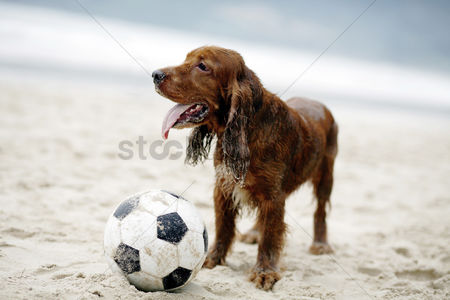 Outdoor : Dog playing with football on the beach
