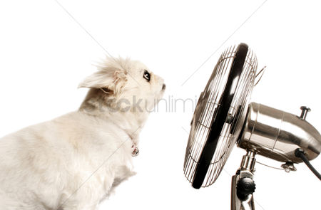 Blowing : Dog sitting in front of a table fan