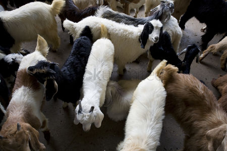 Large group of animals : Dubai uae goats for sale at shindagha market in bur dubai