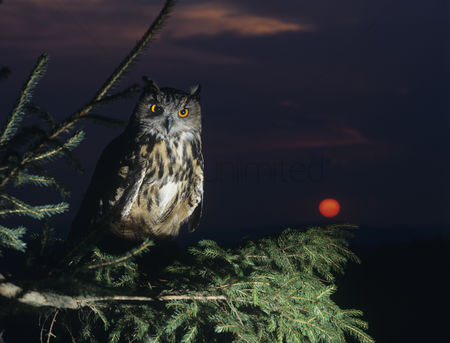 Owl : Eagle owl perching on tree branch
