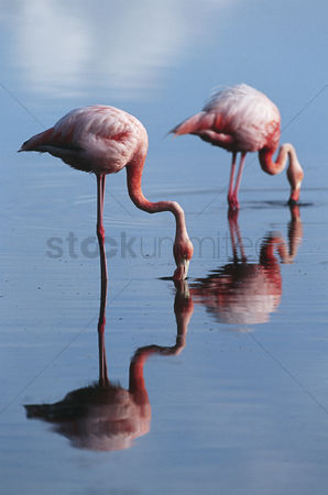 Animals in the wild : Ecuador galapagos islands two greater flamingoes standing in shallow water side view