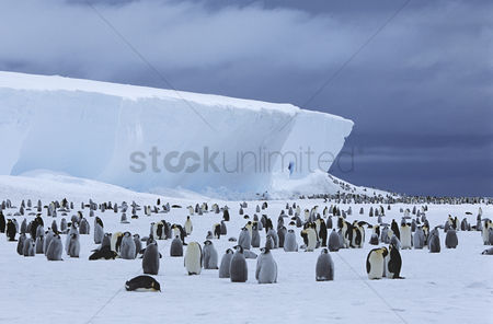 Large group of animals : Emperor penguin  aptenodytes forsteri  colony and iceberg