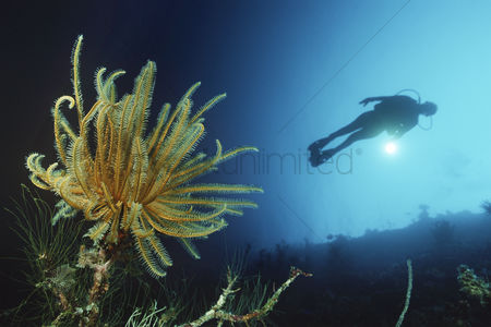 Diving : Feather star on reef wall with silhouette of diver in background