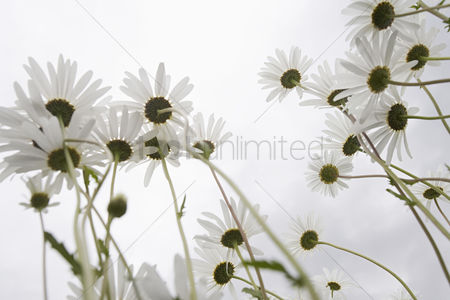 Flower : Field of daisy flowers low angle view close up