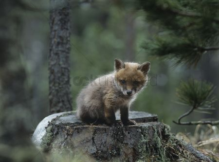 Camera : Fox cub sitting on tree stump