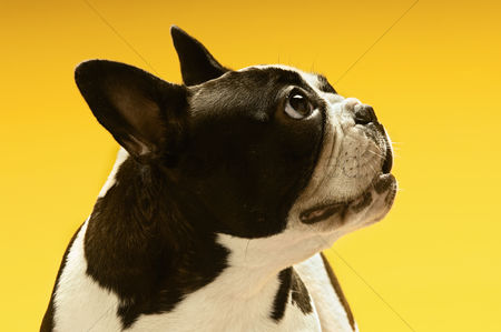 Animal : French bulldog looking away on yellow background