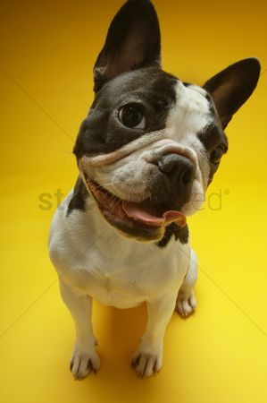 Dogs : French bulldog