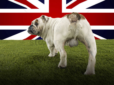 Domesticated animal : Full length rear view of british bulldog walking towards union jack