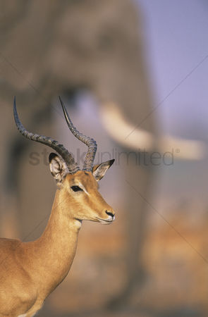 Animal head : Gazelle with elephant in background
