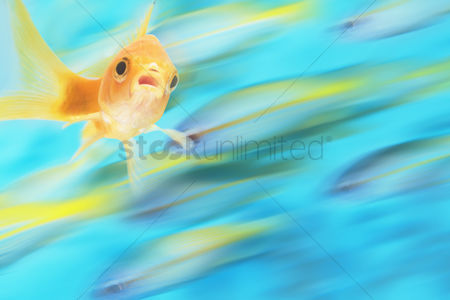 Large group of animals : Gold fish swimming among other fish