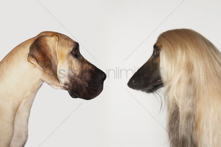 Dogs : Great dane and afghan hound sitting face to face