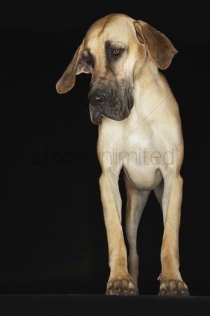 Dogs : Great dane standing front view