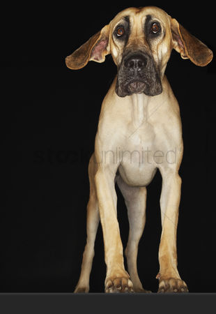 Dogs : Great dane standing with ears extended front view