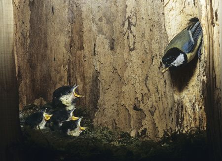 Animals in the wild : Great tit feeding her chicks