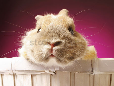 Animal : Guinea pig looking at the camera