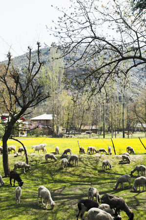 Large group of animals : Herd of goats grazing in a field  pahalgam  jammu and kashmir  india