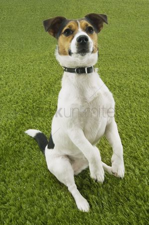 Dogs : Jack russell terrier sitting up front view