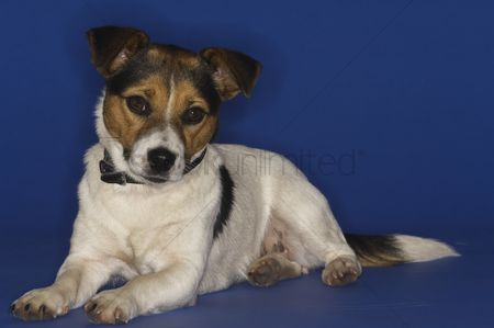 Domesticated animal : Jack russell terrier