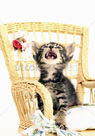Alert : Kitten looking up while sitting on the chair