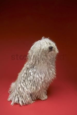 Dogs : Komondor dog