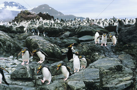 Large group of animals : Large colony of penguins on rocks