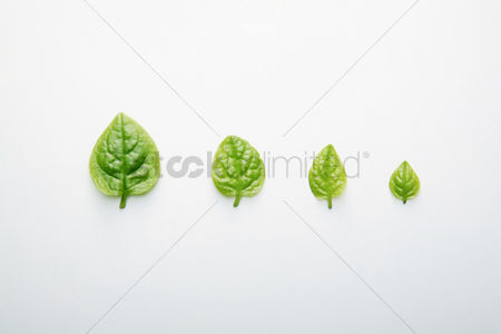 Photosynthesis : Leaves in descending order