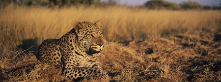 Alert : Leopard  panthera pardus  lying in grass on savannah