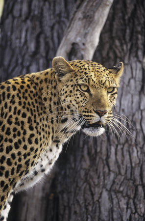Alert : Leopard  panthera pardus  standing beside tree