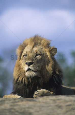 Leadership : Lion resting on savannah