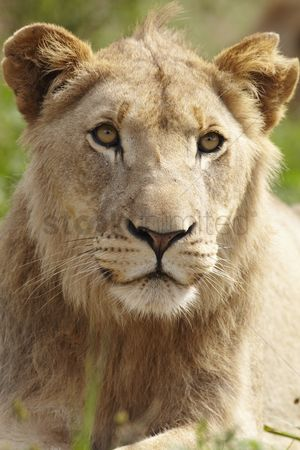 African wildlife : Lioness looking past camera