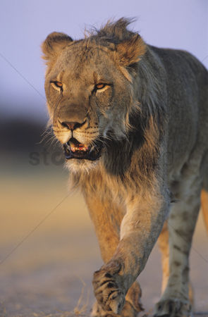 Proud : Male lion walking on savannah