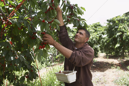 Land : Man harvesting cherries